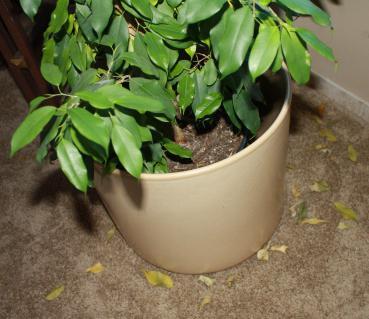 Фікус опадає листя що робити