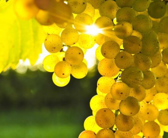 Виноград - это фрукт или ягоды? Лоза винограда