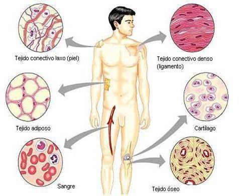 Функции соединительной ткани