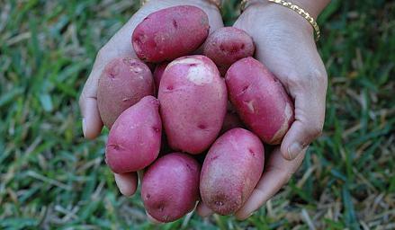 Картофель сорта Скарлет