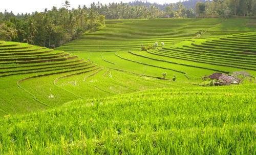 Рис как растет