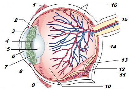an analysis of the features of the human eye The analysis of the frequencies of light emitted and absorbed by explain the characteristics of light and to explain optical components of the human eye.