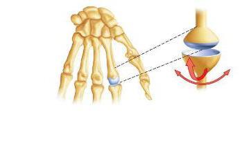 плечевой сустав анатомия человека