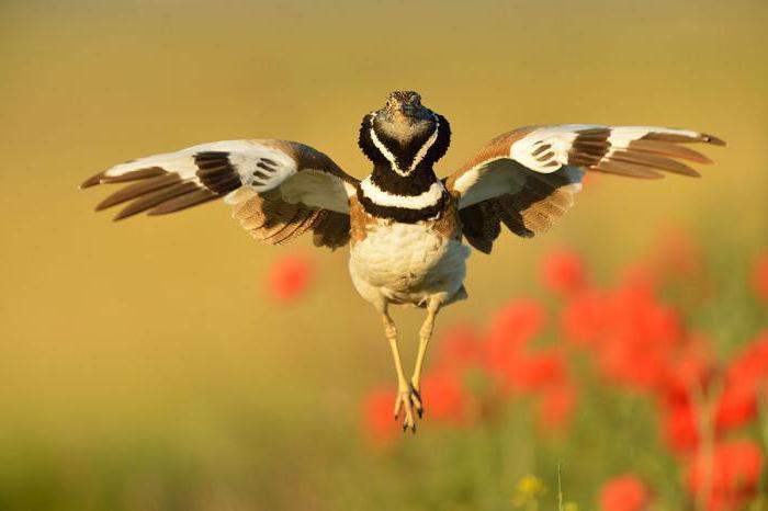 водоплавающие птицы кубани