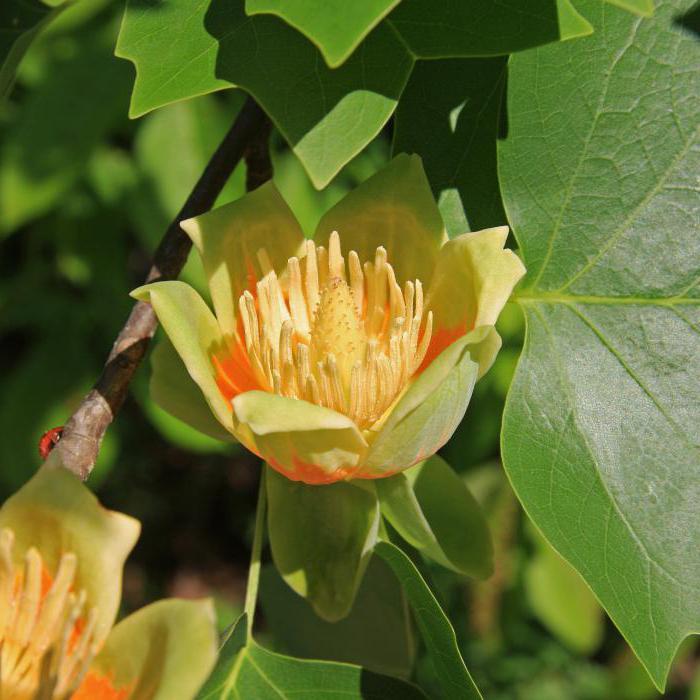 тюльпанное дерево фото в домашних условиях материала