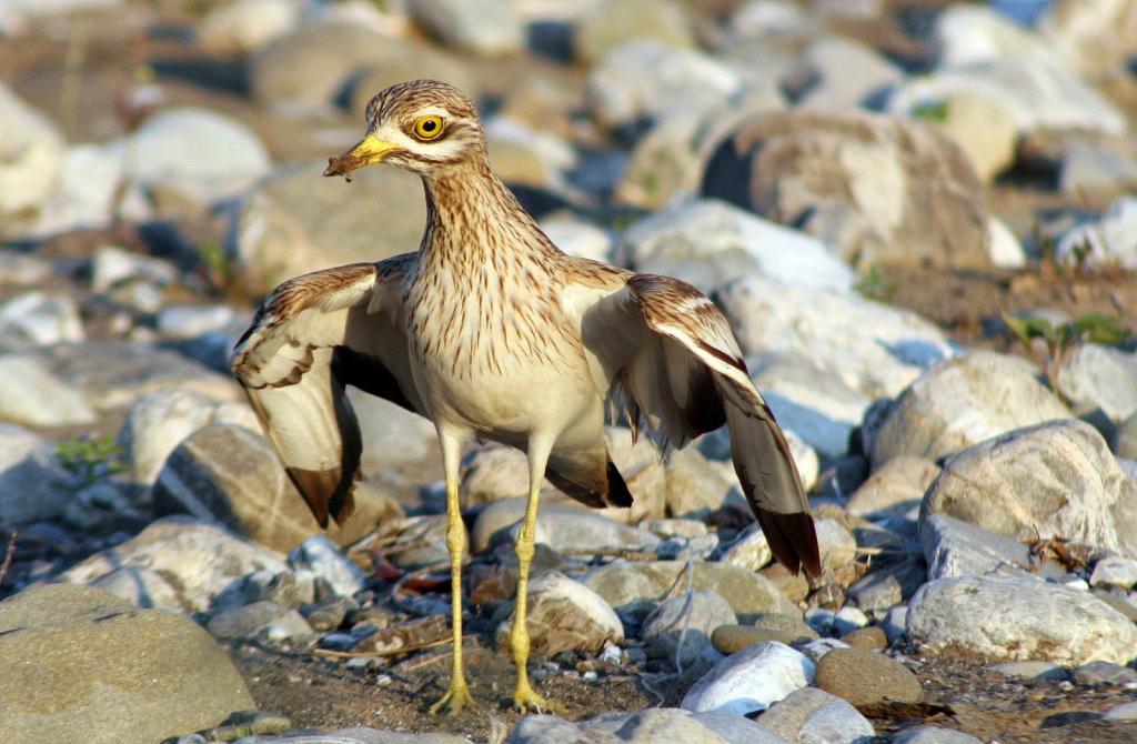 Птица авдотка: фото, описание, образ жизни и интересные факты
