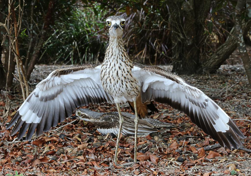 avdotki wings