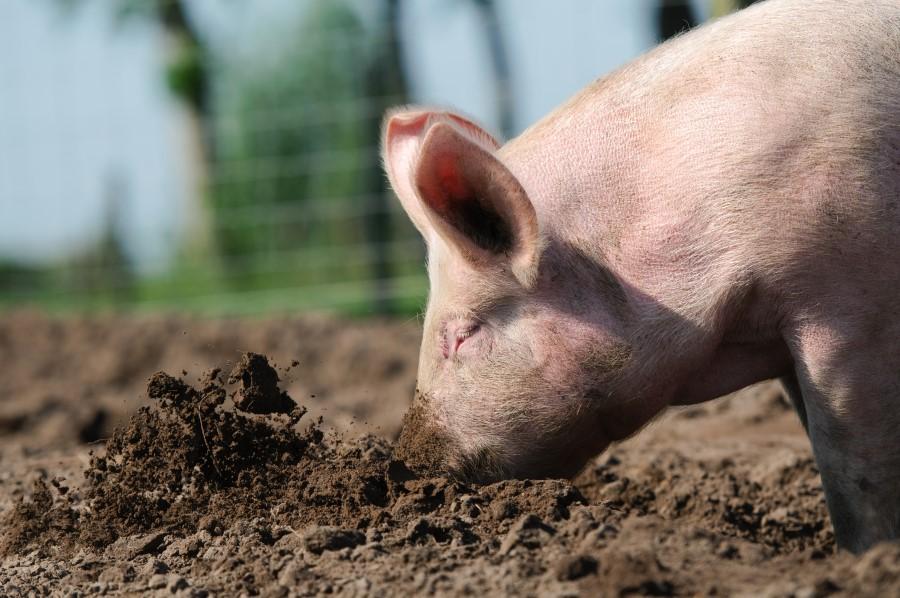 самые чистоплотные животные свиньи