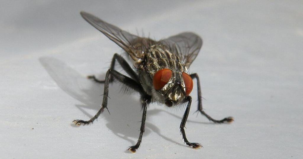 почему муха потирает лапками