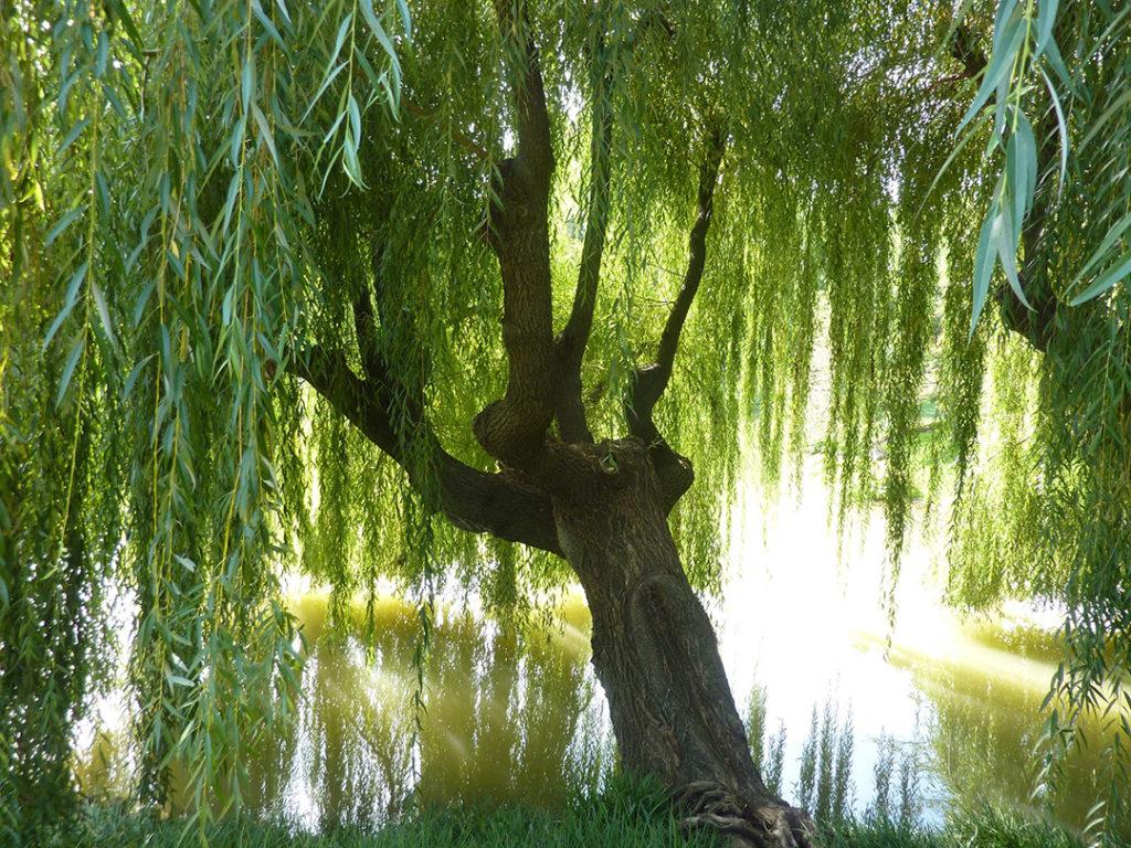 ива дерево фото оригинале много