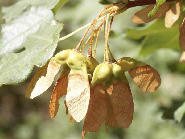 семена клена фото