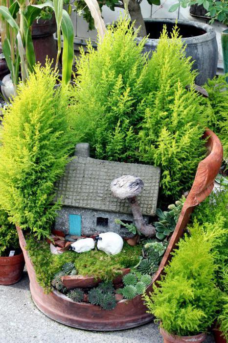 Кипарис уход в домашних условиях