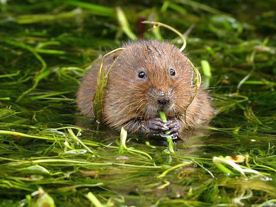 водяная крыса полевка