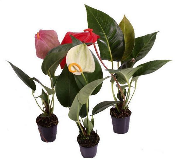 антуриум андре фото цветов