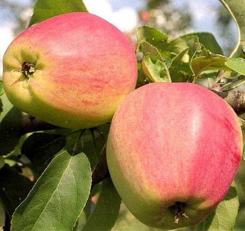Кандиль орловский яблоня описание