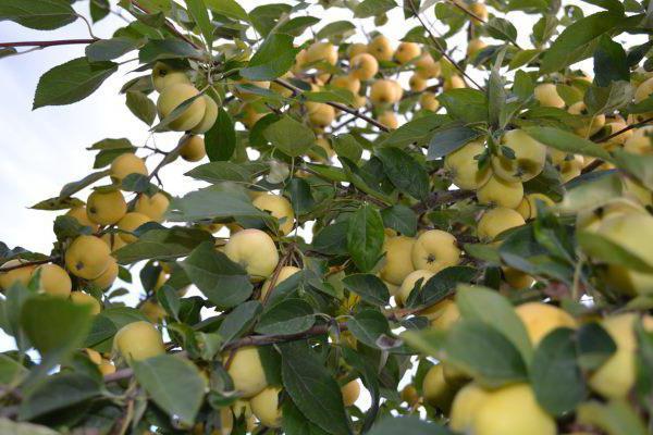 Яблоня уральское наливное описание фото отзывы