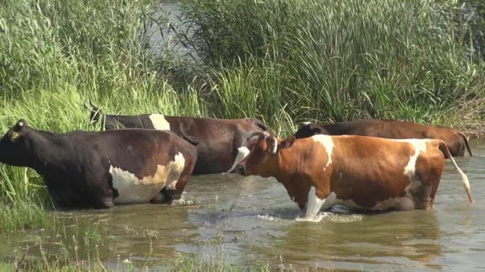 бородавки у коровы на вымени лечение