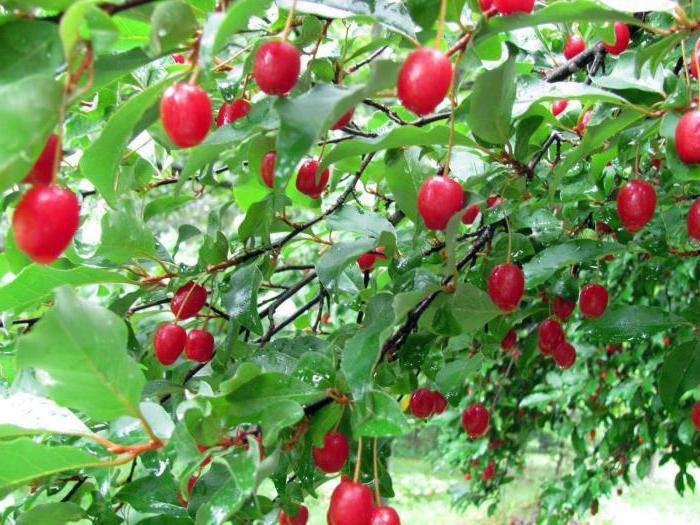 Гуми ягодный кустарник