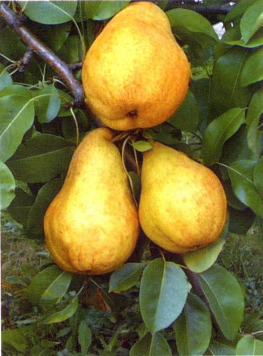 брянская красавица груша