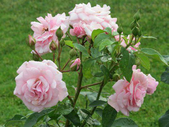 Роза садовая посадка и уход.