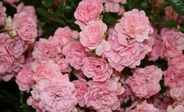 роза сорт фейри