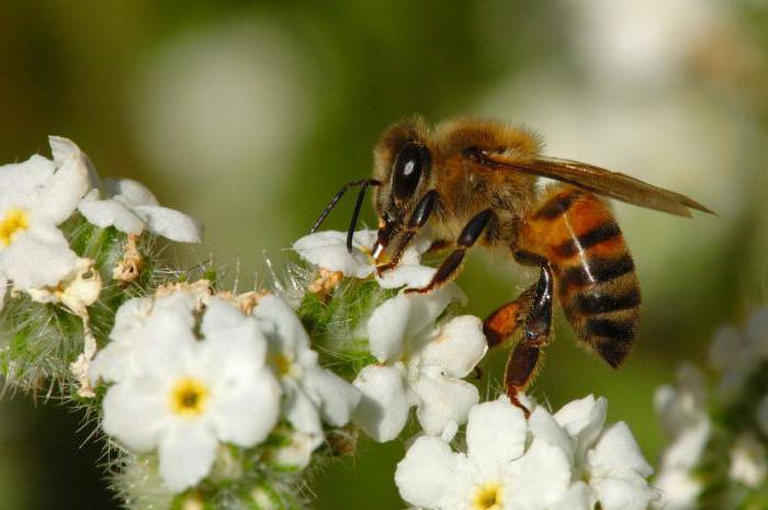 пчела бакфаст характеристика