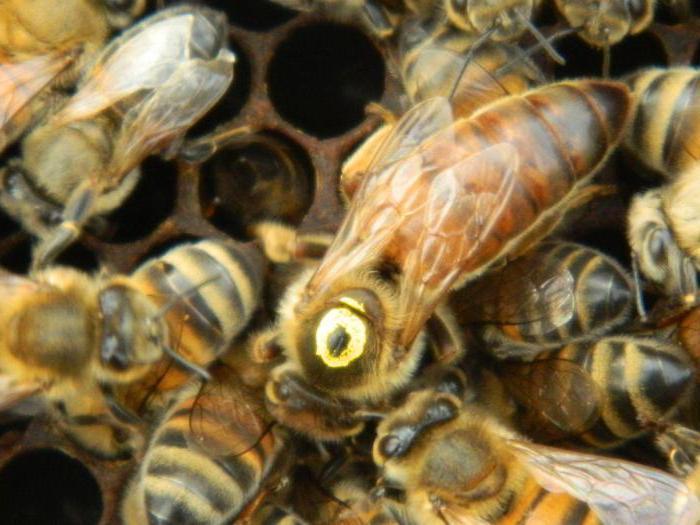 матка пчелы бакфаст