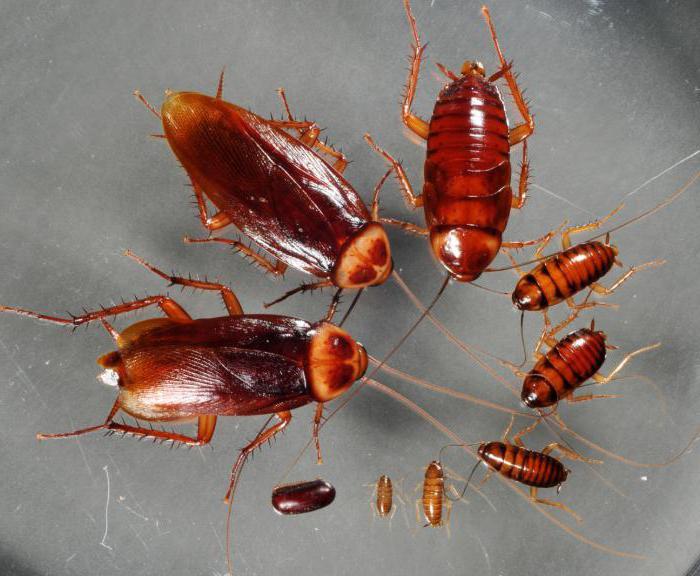 фото тараканов маленьких