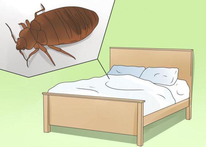 как размножаются клопы в квартире