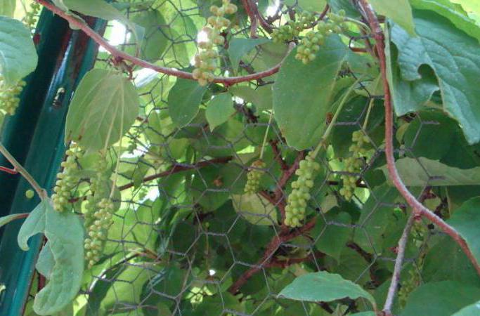 Растение лимонник