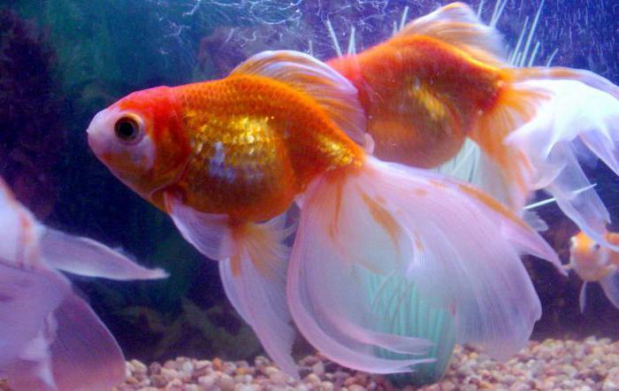 Уход за рыбками вуалехвост