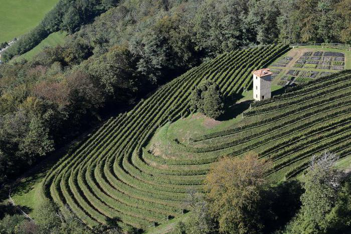 Виноград сорт солярис отзывы