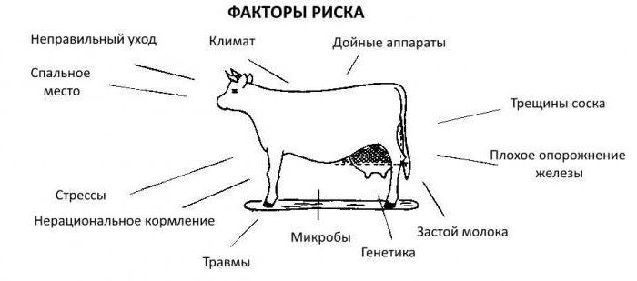 Мастит у коровы лечение препараты