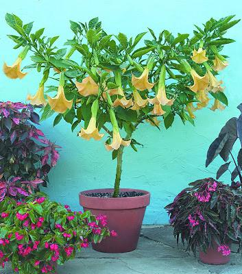 Цветок бругмансия