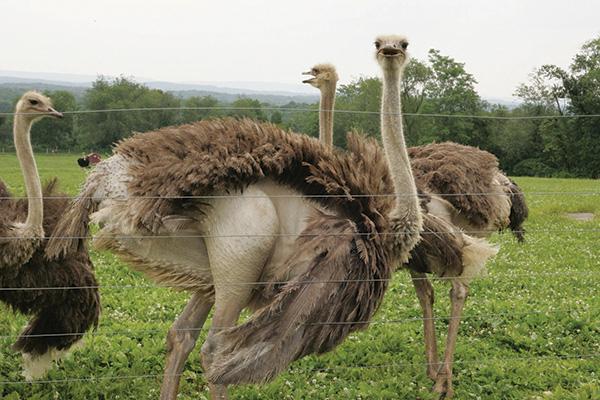 Разведение страуса в домашних условиях