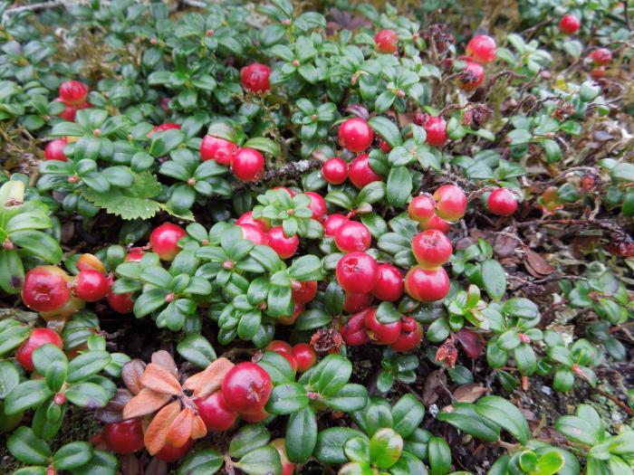Брусника в саду выращивание 20