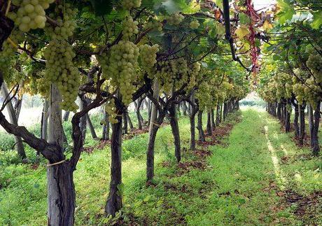 Виноград валек описание сорта фото отзывы