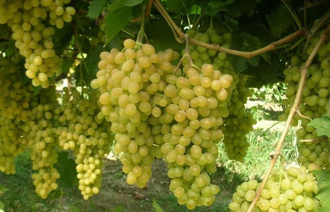 сорт винограда валек