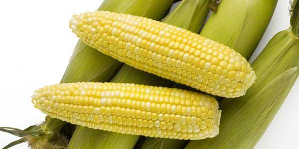кукуруза семена сорта