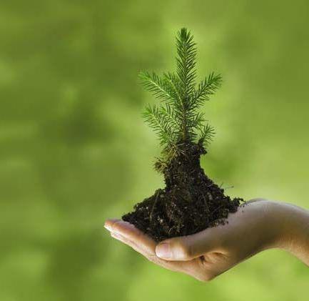 Как посадить ель на участке? Как правильно посадить елку
