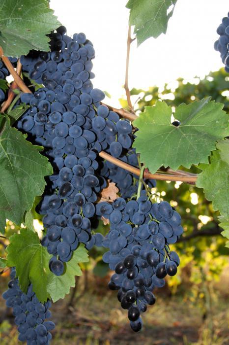 Молдова виноград