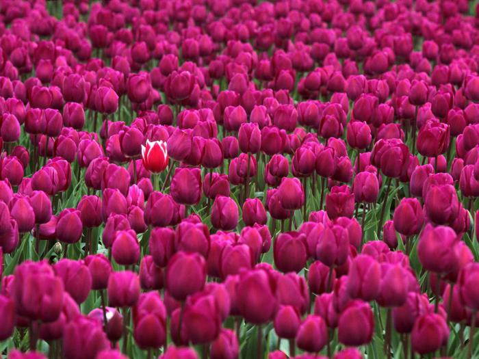 как размножаются степные тюльпаны