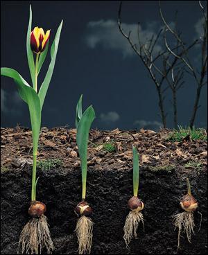 как размножаются тюльпаны в природе
