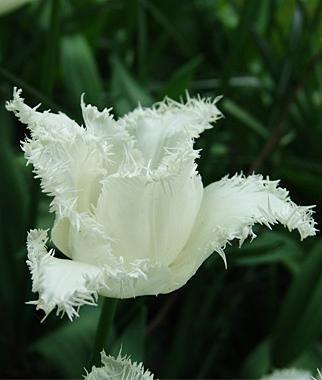 как размножаются тюльпан в условиях культуры