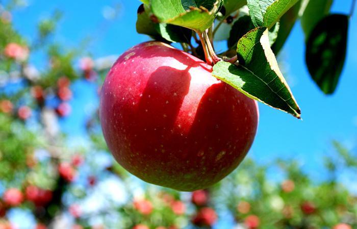 Яблуня слава переможцям опис фото
