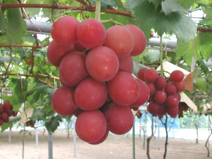Сорт винограда «софия»: описание. Как вырастить крупный виноград «софия»: советы и рекомендации