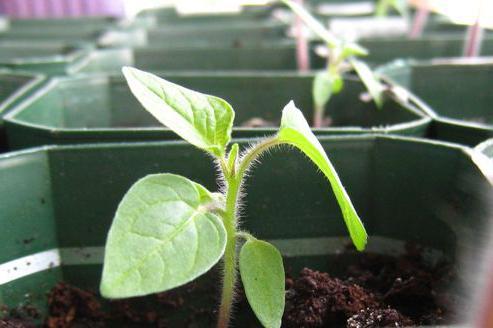 физалис растение