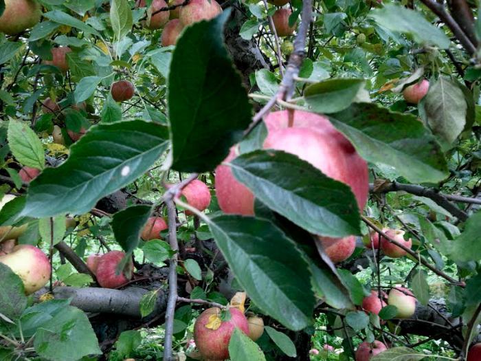 Яблоки айдаред фото