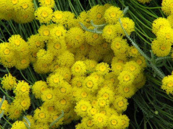 Растение сантолина