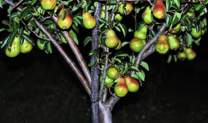 Талгарская красавица груша